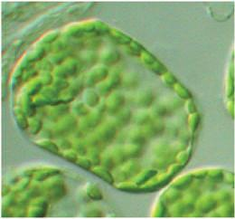 9 Organelles Chloroplasts are examples of organelles, the various functional components present in cells.