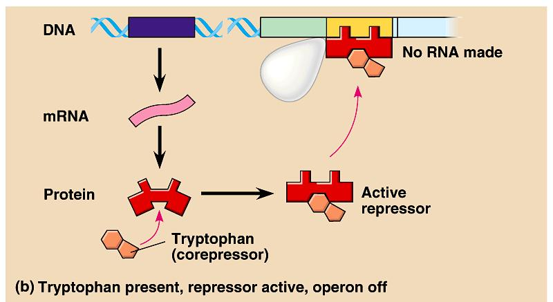 Role of Tryptophan as a co-repressor Impact of level of