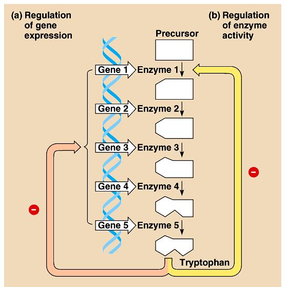 Control of Tryptophan Biosynthesis in Bacteria Feedback