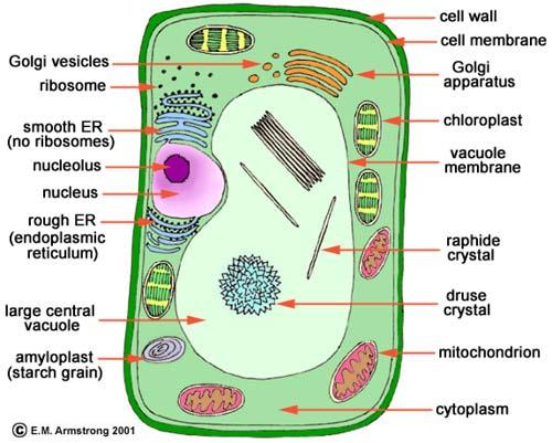 15. What type of cell is shown to the right? How do you know? Make sure that you review the parts of the cell and that you know what job each part of the cell is responsible for.