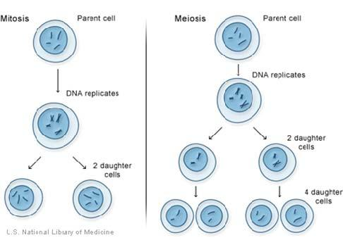 19. Why must DNA be replicated before cell division? 20. This diagram shows sexual vs asexual reproduction. Explain three major differences between these two processes. 21.