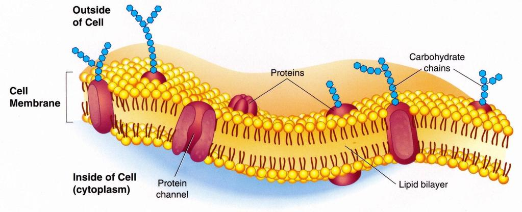 1. Plasma (Cell) Membrane Regulates the movement of materials into or out of cells.