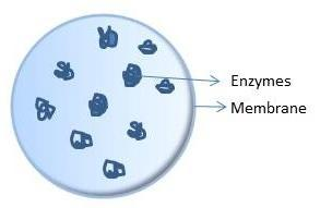 9. Lysosome Contains digestive enzymes