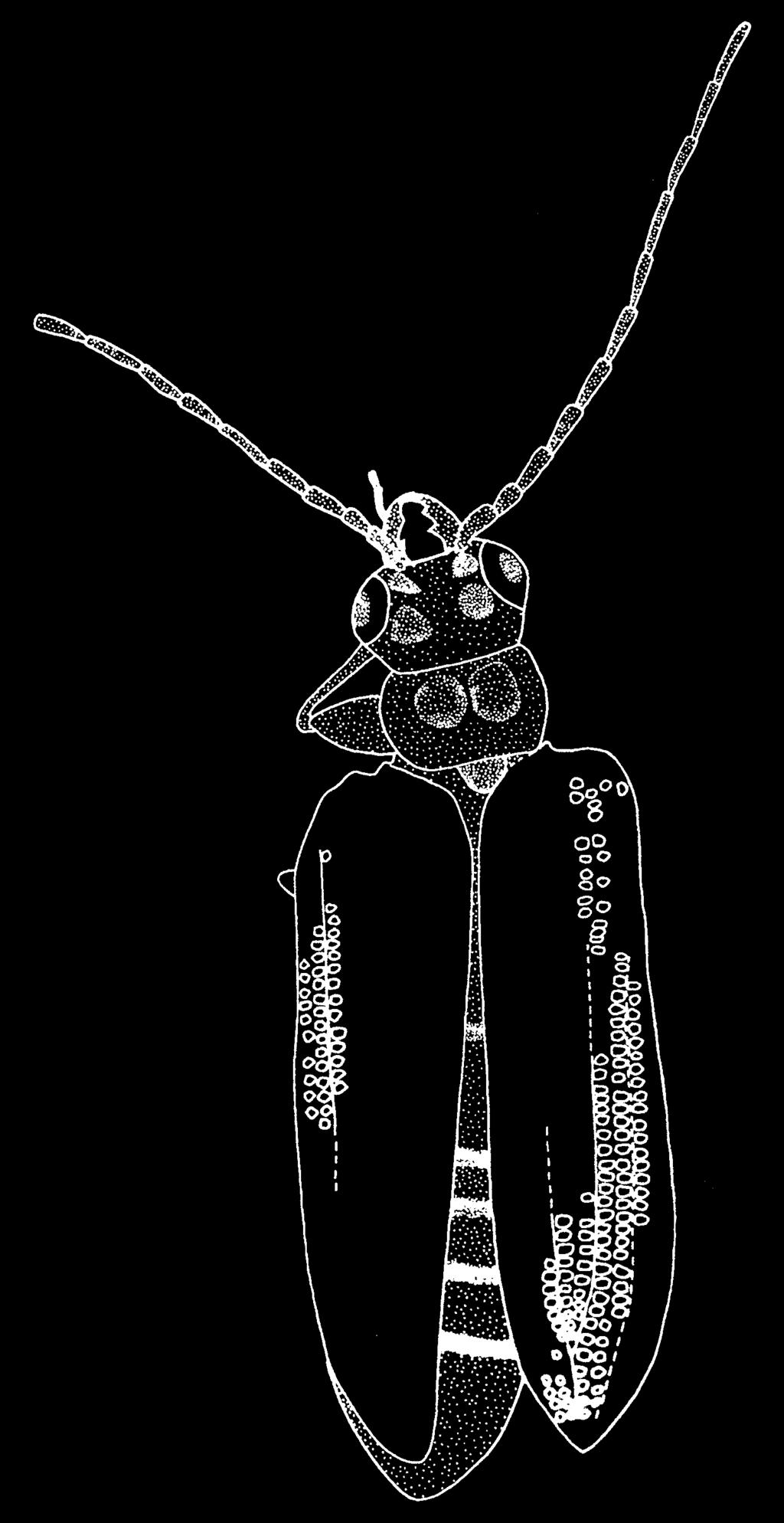 (1) Photograph, holotype; (2) dorsal view; (3) ventral view, (4) fore leg, (5) antennae, (6) outline