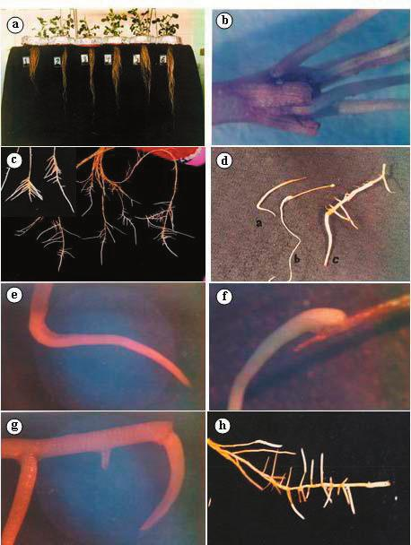 Figure. Step-by-step morphological changes in the root system: (a) the length and thickness of the roots grown in different Fe-treatments (from left to right:., 25,.