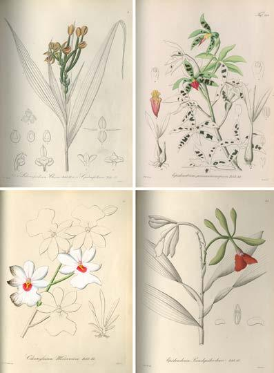 140 LANKESTERIANA Figure 7. Orchid species collected in Panama and illustrated in Xenia Orchidacea I,II,III.