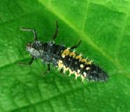 Ground beetle larvae and adults are nocturnal hunters that feed on larvae and soft-bodied insects.