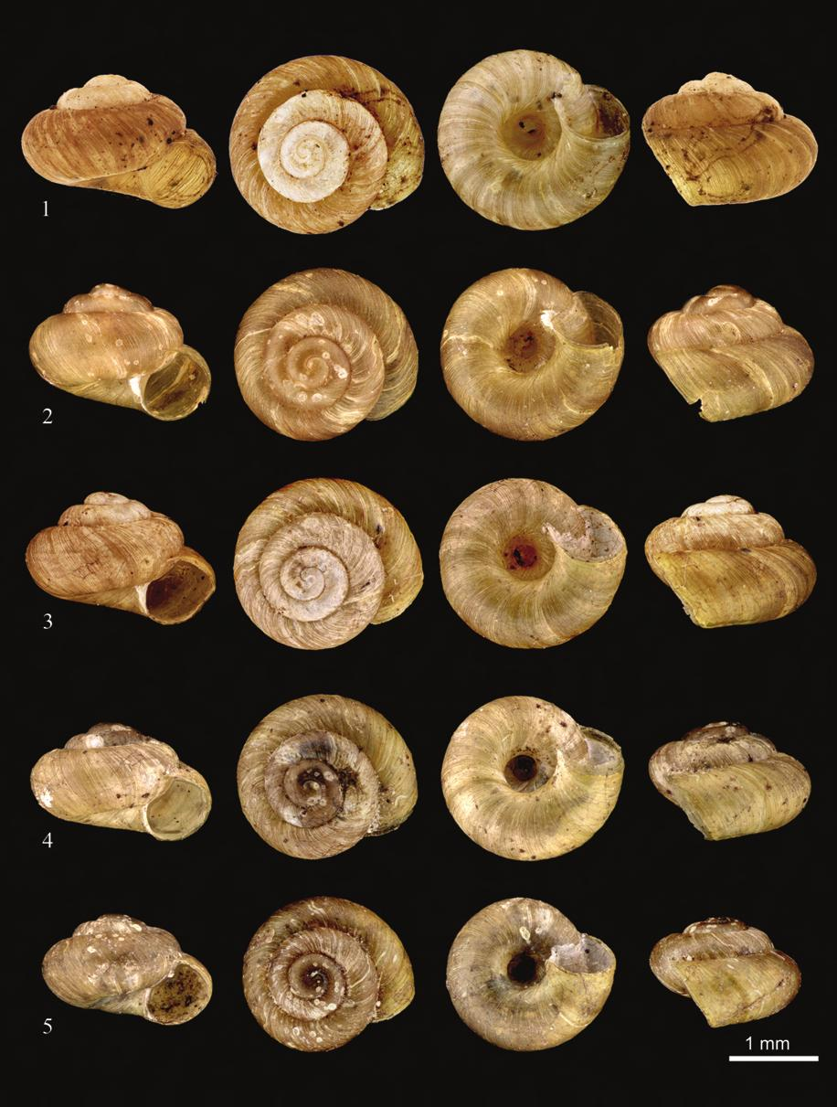 A new record for the Italian fauna: Plagyrona placida from Sardinia and S. Italy (Gastropoda Pulmonata Valloniidae) 531 Figures 1-5. Shells of Plagyrona placida. Figs.