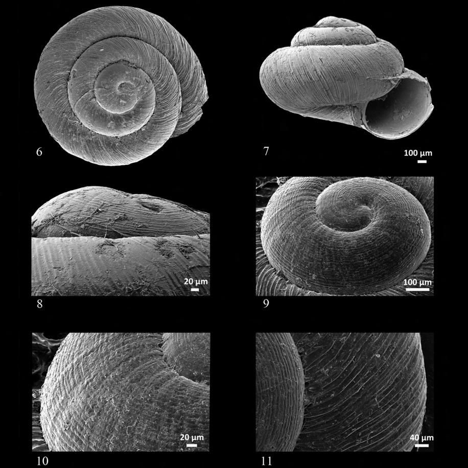 532 S. CIANFANELLI, G. NARDI & M. BODON Figures 6-11. Shells of Plagyrona placida photographed by scanning electron microscope (SEM). Fig. 6: apical view. Fig. 7: frontal view. Fig. 8: magnification of protoconch in lateral view.