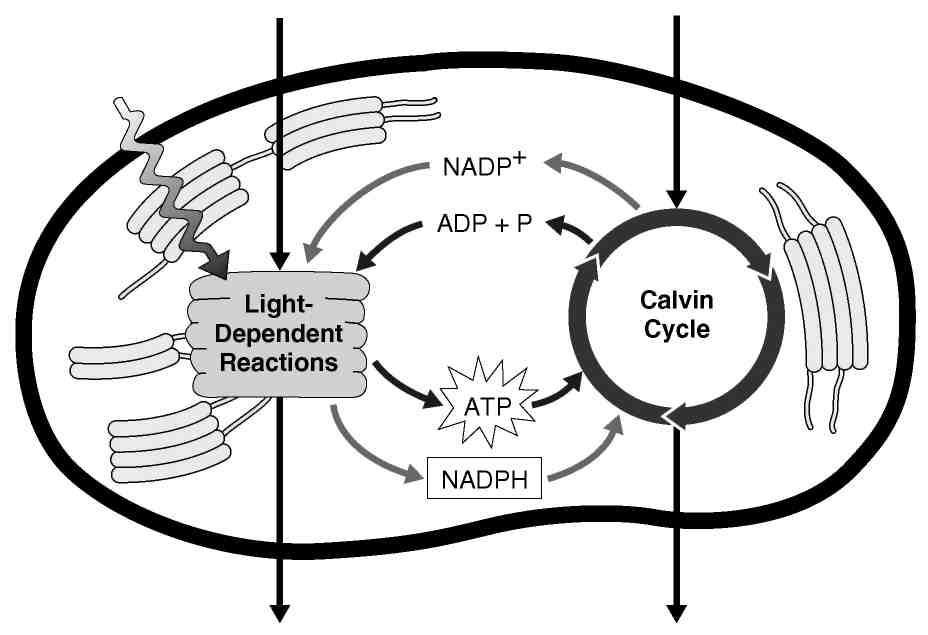 17. Photosynthesis uses the energy of sunlight to convert water and carbon dioxide into oxygen and high-energy Light and Pigments (page 207) 18.