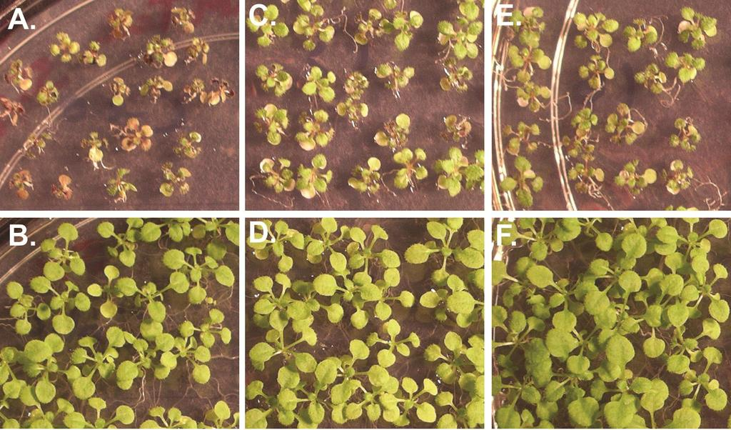 Transgenic Arabidopsis overexpressing LTP4.4 Col-0 LTP4.4-13 LTP4.