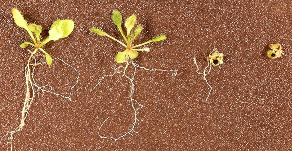 Root/vegetative growth is severely inhibited at Tcin