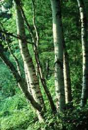 Temperate Forest Plants Deciduous trees which
