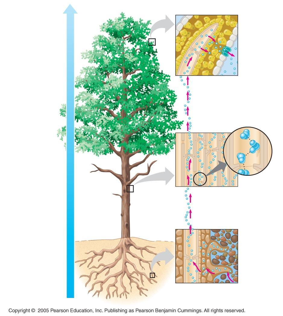 Water potential gradient Pulling Xylem Sap: The Transpiration-Cohesion Tension Mechanism Outside air = 100.0 MPa Leaf (air spaces) = 7.0 MPa Leaf (cell walls) = 1.