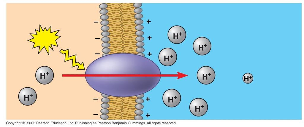 Proton pumps generate membrane potential and H+ gradients.
