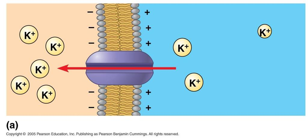 Cations (K+, for example) are driven into the cell by the membrane potential.