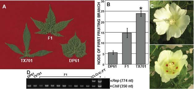 F 1 progeny have intermediate phenotypes and are virus free: Suitable for organic breeding programs A. Intermediate leaf lobing; B. Intermediate flowering time; C.