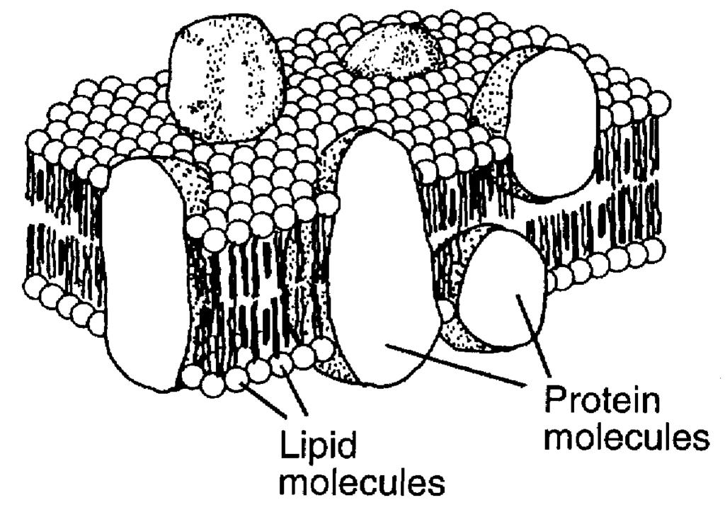 12. Which cell structure is represented by the three-dimensional diagram? 12.. chloroplast. mitochondrion. plasma membrane. replicated chromosome 13.
