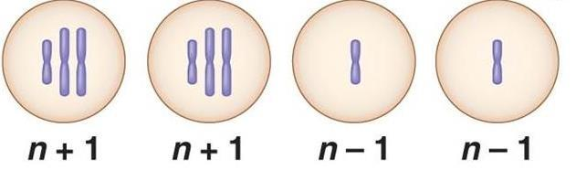 4. If these four cells resulted from cell division of a single cell with diploid chromosome number 2n = 4, what process has just occurred? a. Normal meiosis b. Translocation c. Nondisjunction d.