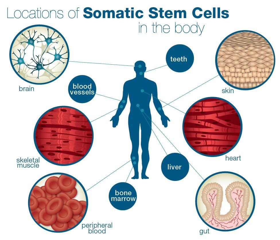 Cell Mitosis and Meiosis Smallest structural and functional unit of an organism Somatic cells are any cells other than germ cells - Found throughout