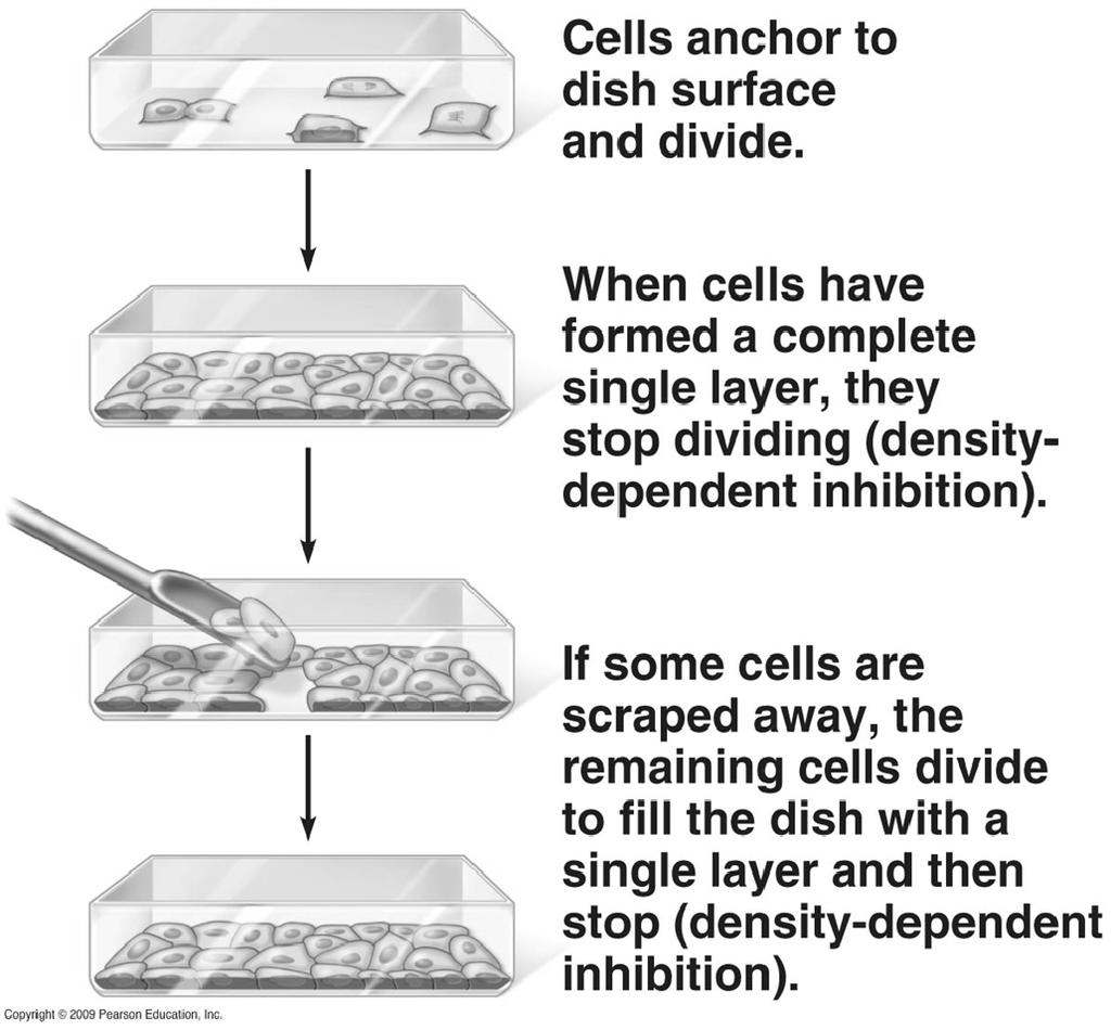 Physical factors Density-dependent inhibition a condition where crowded cells stop