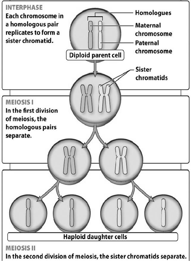 Big picture of the two cell divisions Meiosis I separation of