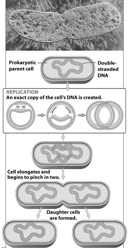 Cell division in prokaryotes Called binary fission 1 st DNA replicates 2 nd the original cell (the parent cell) pinches itself in two new cells