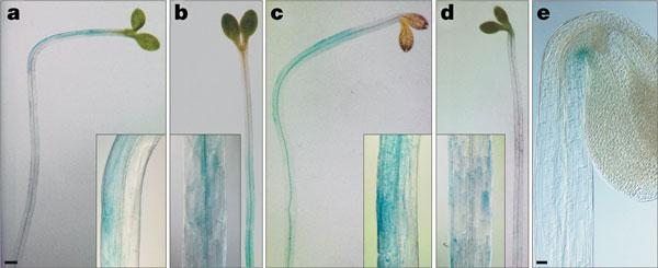 DR5:: GFP (green fluorescence protein) Plant is transformed with a. or b. construct. Gene is incorporated into genome and inherited. Progeny plants carry a or b.