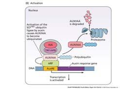 Auxin activates TIR1 (F-box protein) TIR1 complex targets the degradation of IAA repressor