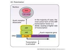 After Model for auxin binding to TIR auxin receptor Removal of repressor protein by