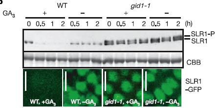 c) 3H-GA Binding is reduced with nonradio-labeled GA d) Binding is