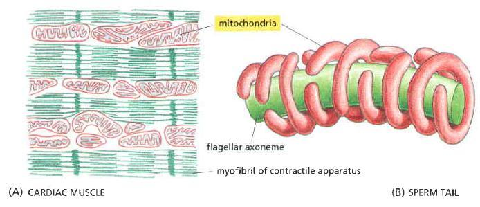 In some cells Mitochondria mitochondria forms a long moving filaments or chains OR mitochondria remain fixed at the same position (eg in cells where they require excess