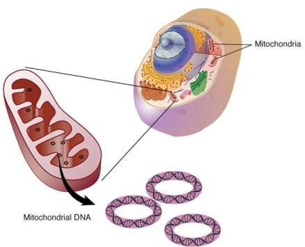 Mitochondial Genome The