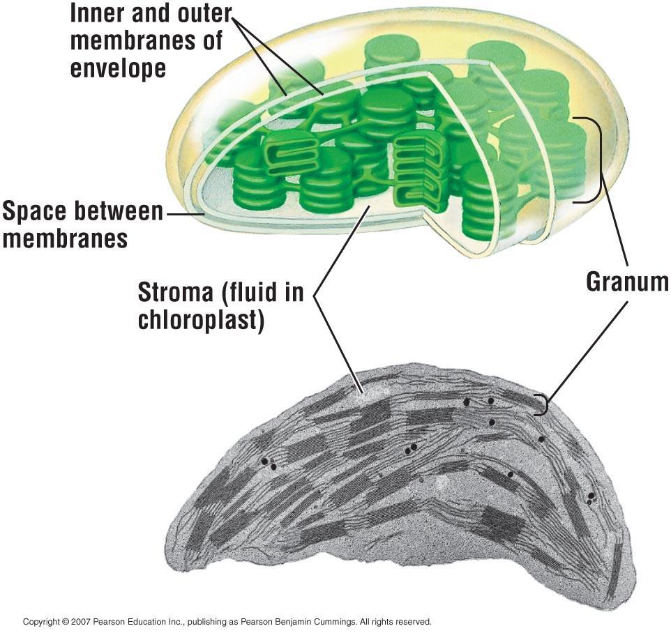 Structure of Chloroplasts