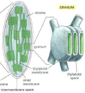 Structure of Chloroplast Thylakoids: Flattened membranous sacs inside the chloroplast Chlorophyll is found in the thylakoid membranes (Responsible for