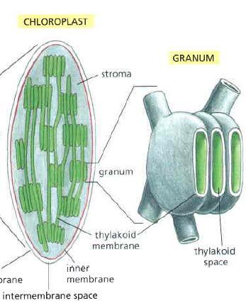 Structure of Chloroplast 3- Stroma: the fluid-filled space innermost membrane contains