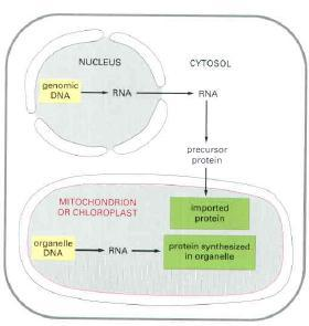 Proteins in Mitochondria and Chloroplasts They import proteins from cytosol after they are synthesized on cytosolic ribosomes.