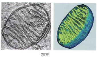 Mitochondria Mitochondria are about 1µm in diameter and 1-10 µm in length.