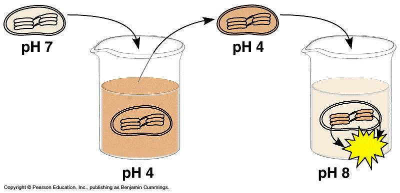 8. The diagram below represents an experiment with isolated chloroplasts. The chloroplasts were first made acidic by soaking them in a solution at ph 4.