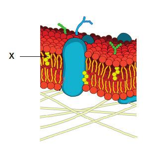 3 N15/4/BIOLO/HPM/ENG/TZ0/XX 5. What describes nuclear division in stem cells? A. Clonal selection B. Mitosis C. Cytokinesis D. Meiosis 6. The diagram shows a plasma membrane.