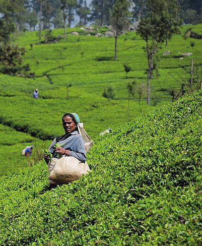 5 N15/4/BIOLO/HPM/ENG/TZ0/XX 10. The image shows a lady picking tea (Camellia sinensis) leaves. [Source: SriLanka TeaHarvest (pixinn.net) by Christophe Meneboeuf - Own work.
