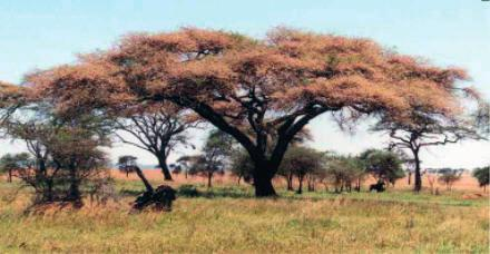 9 N15/4/BIOLO/HPM/ENG/TZ0/XX 19. The image shows an Acacia tortilis tree which is one of 13 species of Acacia. All such flowering trees are examples of Fabaceae. [Source: Eat267.