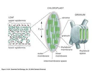 Chloroplast - plants and algae (in plasma membrane and cytoplasm of bacteria) ECB 14-30 Photosynthesis occurs in two stages (plants, algae,