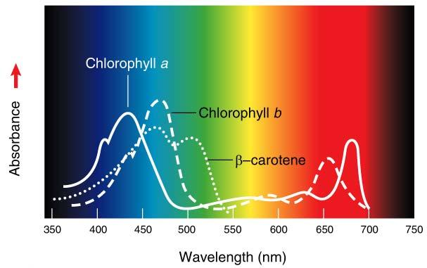 Absorption spectra of pigments in plants Chlorophyll absorbs