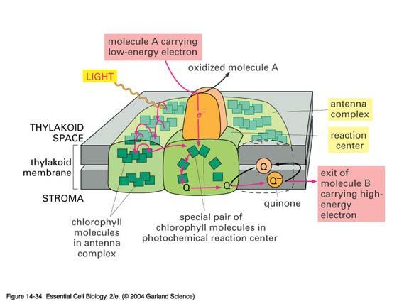 chlorophyll to insert in membrane ECB 14-33 Antenna complex