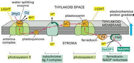ACIDIC and + charge 4 4 Splitting of water leaves H+ in thylakoid space B6/f complex e- to plastocyanin moves H+ from stroma to