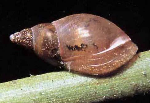 Coiling in Limnaea snails Whether the shell coils to the right (shown) or left is determined by the maternal