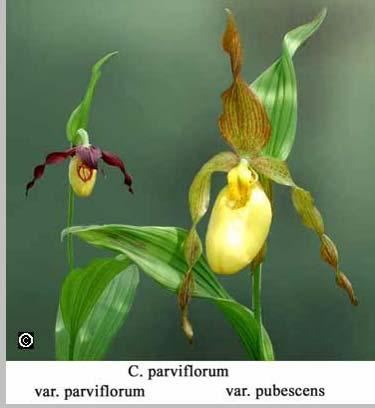 Atwood in 1985 separated the North American species from the Eurasian. He listed: Cyp. parviflorum,(small flowered lip vertical 2-3cm), Cyp. pubescens, var.