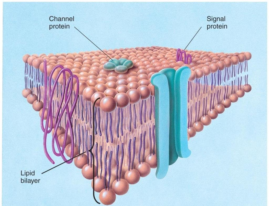 The Neuronal Membrane The neuronal membrane serves as a barrier to enclose the cytoplasm and to exclude certain substances that float in the fluid that bathes the neuron.
