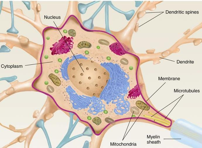 The soma of a typical neuron is between 10-20 mm in diameter (average width of a human hair = 100 mm). The watery fluid inside the cell is called cytosol.